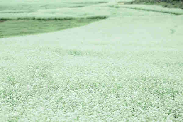 Sophy Chen Original C-E Poetry: Buckwheat Flowers Blooming苏菲汉英对照原创诗歌《荞麦花开》